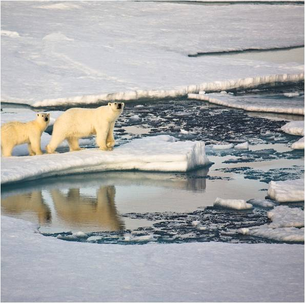 Polar bears on a melting ice